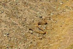 رها سازی یک حلقه مار قیطانی در زیستگاه های طبیعی پیشوا