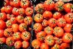 برداشت روزانه 1000 تن گوجه در نهاوند