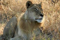 تکذیب حضور شیر در روستاهای اطراف دریاچه ارومیه