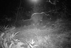 تصویربرداری از یک قلاده خرس قهوه ای به همراه دو توله اش