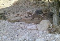 ثبت تصاویر 5 قلاده پلنگ ایرانی در سفید کوه
