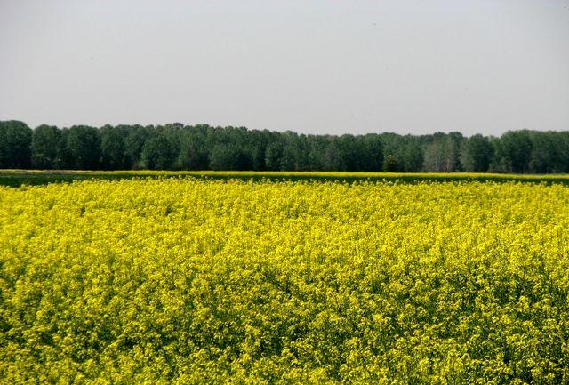 خریداری 8هزار تن کلزا از کشاورزان شهرستان البرز