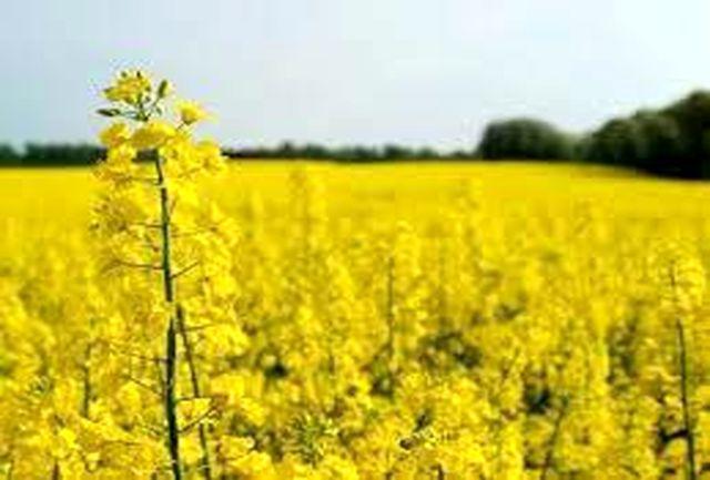 5 هزار تن کلزا از مزارع خراسان شمالی خریداری می شود