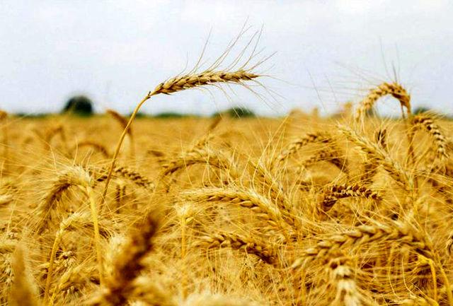 250 هزار تن گندم در استان مرکزی خریداری شد
