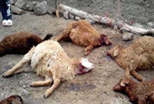 گرگهای گرسنه ۱۳۵ رأس گوسفند را در زیرکوه دریدند