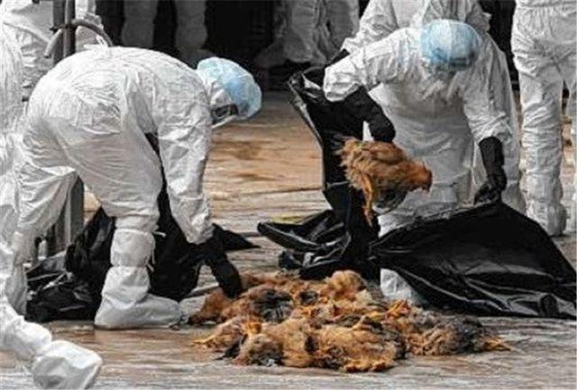مشاهده بیماری آنفلوانزای فوق حاد پرندگان در شهرستان کلیبر /مرغداران نسبت به واکسیناسیون و بیمه طیور اقدام کنند