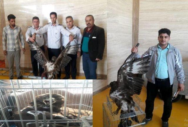 تحویل یک بهله عقاب طلایی به محیط زیست در بهارستان