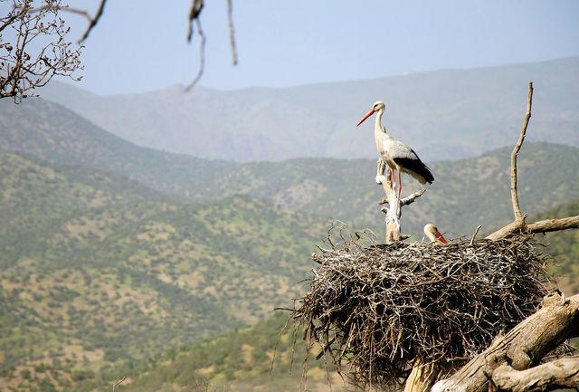 جوجه آوری لک لک سفید در استان کردستان