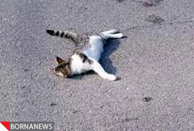 گربه مقصراصلی تصادف در عربستان شناخته شد