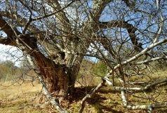 پیوستن درخت گردوی ۴۰۰ ساله پشتوک به فهرست آثار ملی