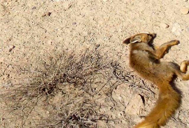 تصادف باعث تلف شدن روباه در جاده ایلام  سرابله شد