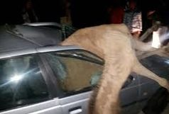 برخورد با شتر یک کشته برجاگذاشت
