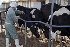 واکسینه ۲۰ هزار دام سنگین آذربایجانغربی برعلیه تب برفکی