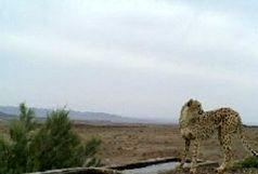 کاهش تعداد یوزپلنگهای مشاهده شده در منطقه میاندشت جاجرم