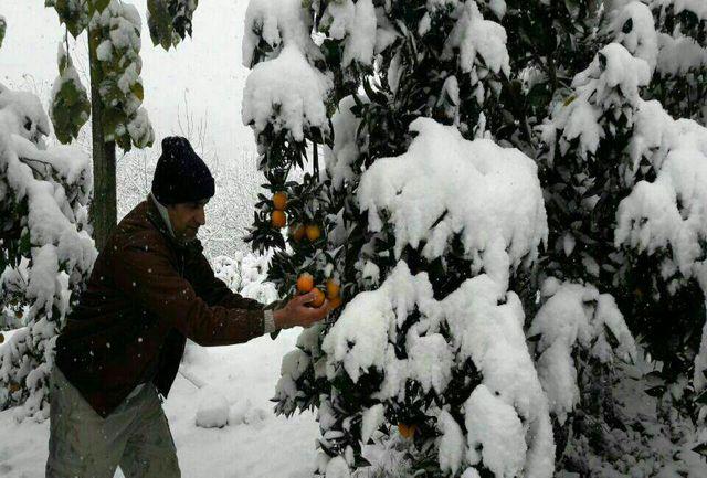 تراژدی سنگین برف و باغ در مازندران