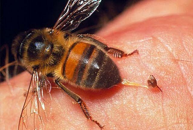 آیا واقعا با زهر زنبور عسل می توان کرونا را درمان کرد؟