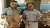 یک متخلف خرید و فروش اعضای حیوانات ایرانشهر دستگیر شد