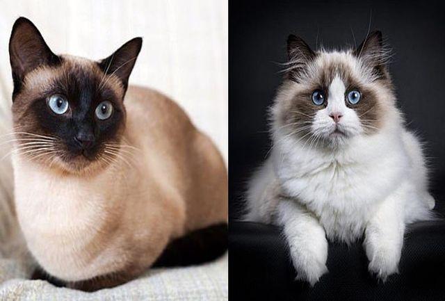 آیا واقعا گربه ها هم کرونا می گیرند؟