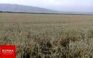 آغاز برداشت گندم از مزارع  پلدختر