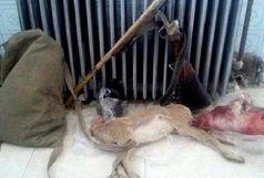 دستگیری دو متخلف شکار و صید همراه با لاشه یک بزغاله وحشی