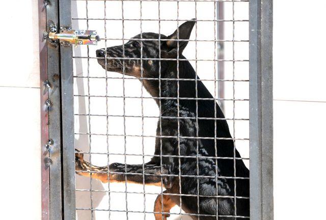 آیا  واقعا سگ ها مبتلایان کرونایی را با دقت خیلی بالا شناسایی  می کنند؟