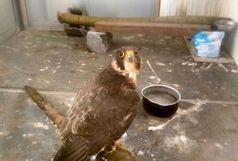 کشف و ضبط یک بهله پرنده شکاری روزپرواز در گیلان