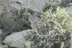 ثبت نخستین تصویر از گربه وحشی در زرندیه ساوه