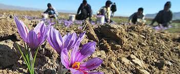 کشاورز مجبور است زعفران را با قیمتی که خریدار تعیین میکند، بفروشد