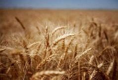 تعیین قیمت ۱۷ هزار ریالی برای خرید تضمینی گندم / پیشبینی برداشت ۷۵۰ هزار تن گندم در آذربایجان غربی