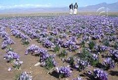 تولید 180کیلوگرم محصول زعفران از مزارع شهرستان ابرکوه