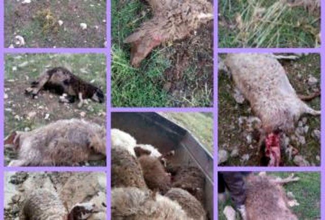 حمله گرگ 63 گوسفندیک دامدار را تلف کرد