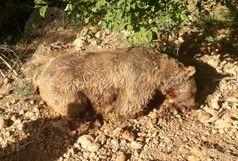 کشف لاشه یک قلاده خرس قهوهای در گهگیلویه وبویراحمد