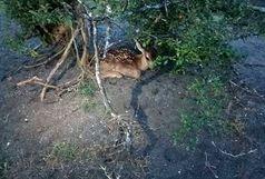 تولد مارال ماده در پارک طبیعت گردی لوندویل آستارا