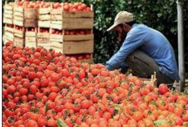 آخرین برداشت محصول خرمالو از باغات کن