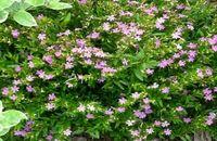 گیاه کوفیا برای نگهداری در چه محیطی مناسب است؟