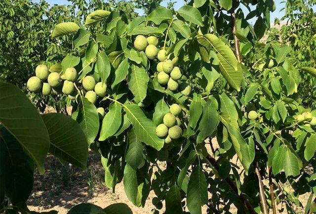 آغاز برداشت گردو از باغات آذربایجانغربی