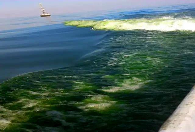 شکوفایی جلبکی «نوکتی لیکا» از دریای عمان به سمت خلیجفارس درحال پیشروی است