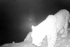 ثبت تصویر پلنگ ایرانی در منطقه حفاظت شده سفید کوه خرم آباد