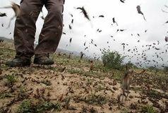 سیستان وبلوچستان رتبه نخست مبارزه با ملخ صحرایی کشور را دارد