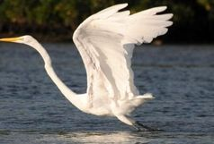 دریاچه شهدای خلیج فارس، میزبان حواصیل بزرگ سفید شد