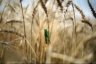 خریداری ۵۱هزار تن گندم از کشاورزان مناطق گرمسیری در کرمانشاه
