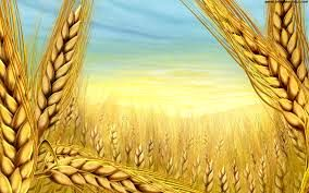 افزایش واحدهای پرورش شتر مرغ در فامنین/ خرید 18500 تن گندم از کشاورزان