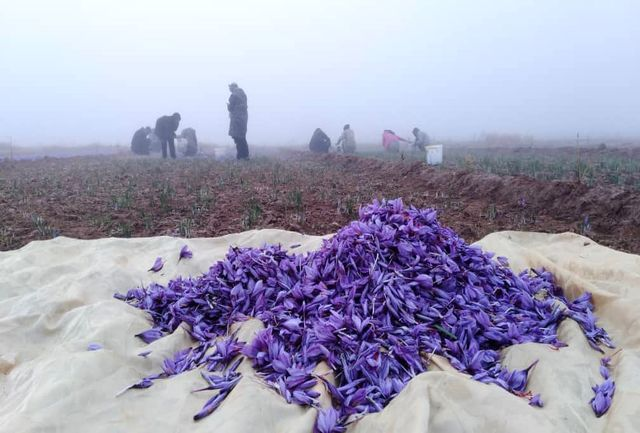 پیش بینی برداشت ۷۰ کیلوگرم زعفران از مزارع آذربایجان غربی