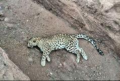 علت مرگ یوزپلنگ ایرانی در کرمان اعلام شد