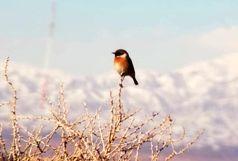 پرنده چک اروپایی در تالاب الله آباد آبیک مشاهده شد