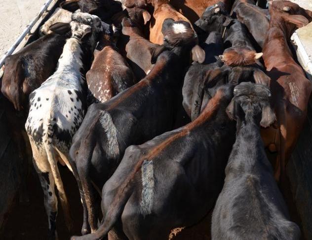 کشف 33 رأس دام قاچاق در آستارا