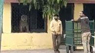 ورود شیر به مدرسه پس از حمله به گله گاوها