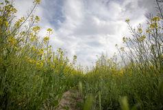 کشت دانه روغنی کلزا در سطح ۲۲۵۰ هکتار از اراضی زراعی آذربایجانغربی