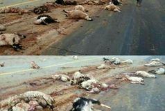 تریلری جان 60 گوسفند را گرفت