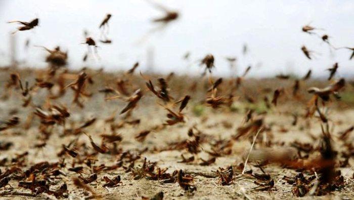 مبارزه با ملخ صحرایی در ۱۷۸ هزار هکتار از مراتع سیستان وبلوچستان